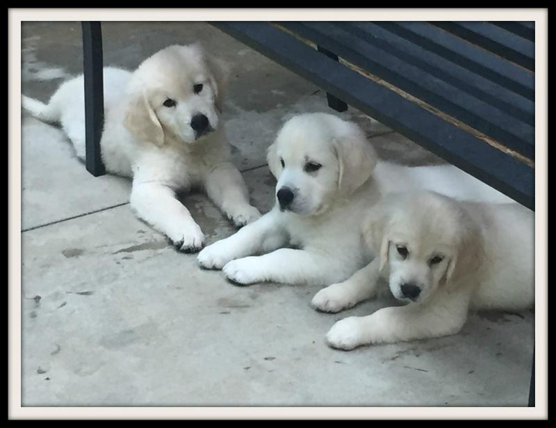 Noble Golden Retrievers - Trained Puppies