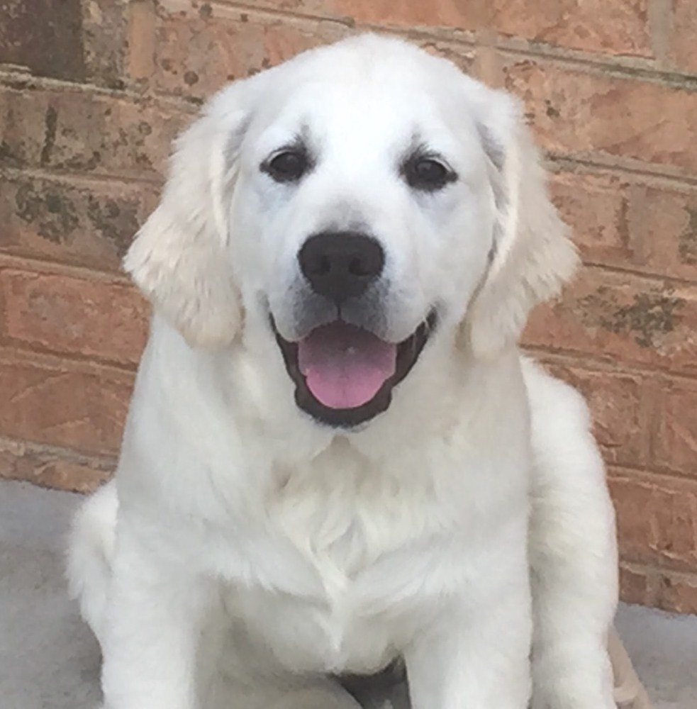 Noble Golden Retrievers - Available Puppies